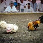 Akses ke Dalam Sistem Judi Sabung Ayam S1288